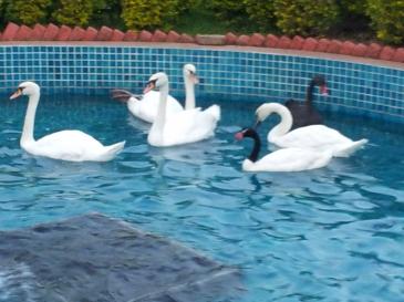 jamnagar-swans